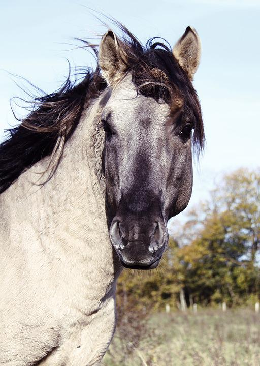 Horse, Stallion, Konik, Horse Head, Wild Horse
