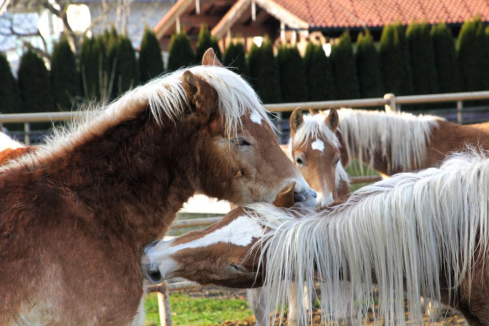 Haflinger, Horses, Mane, Horse Head, Mare, Stallion