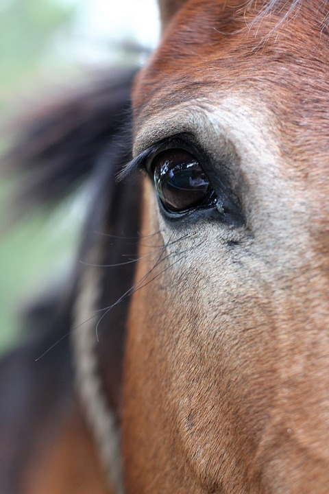 Horse, Eye, Equine, Head, Portrait, Animal, Stallion