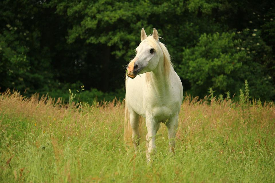 Horse, Mold, Pasture, Thoroughbred Arabian, Stallion