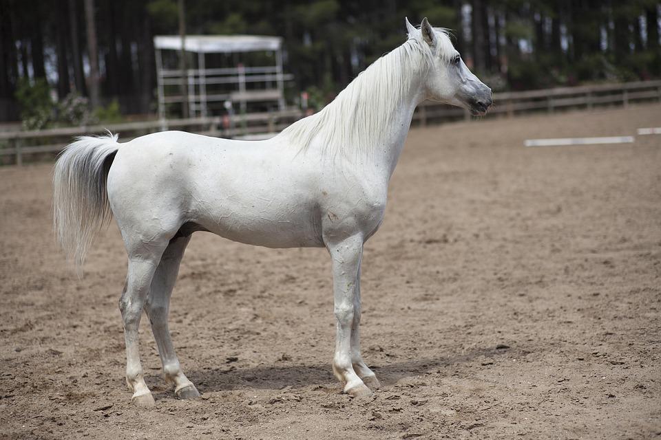 White, Horse, Portrait, Beauty, Stallion, Barn, Head