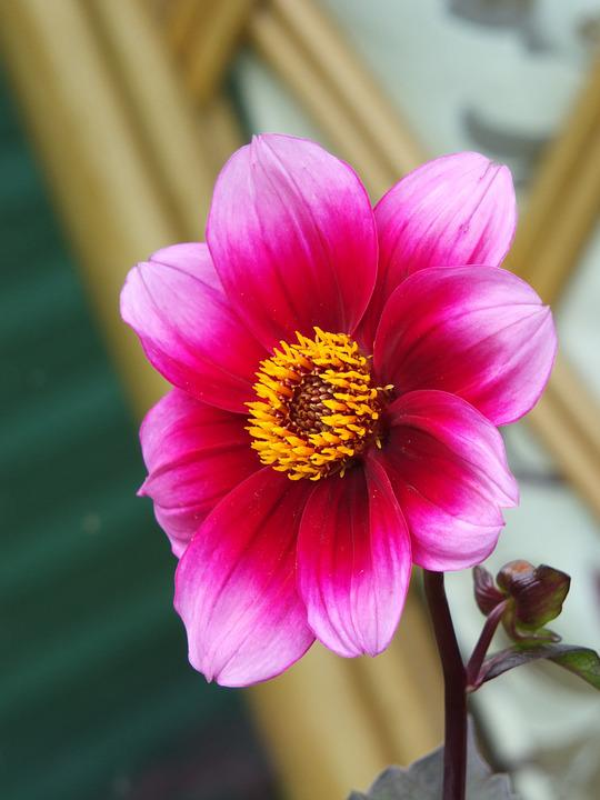 Free photo stamen flower pink colour red stem yellow petal max pixel flower petal stamen colour red yellow pink stem mightylinksfo