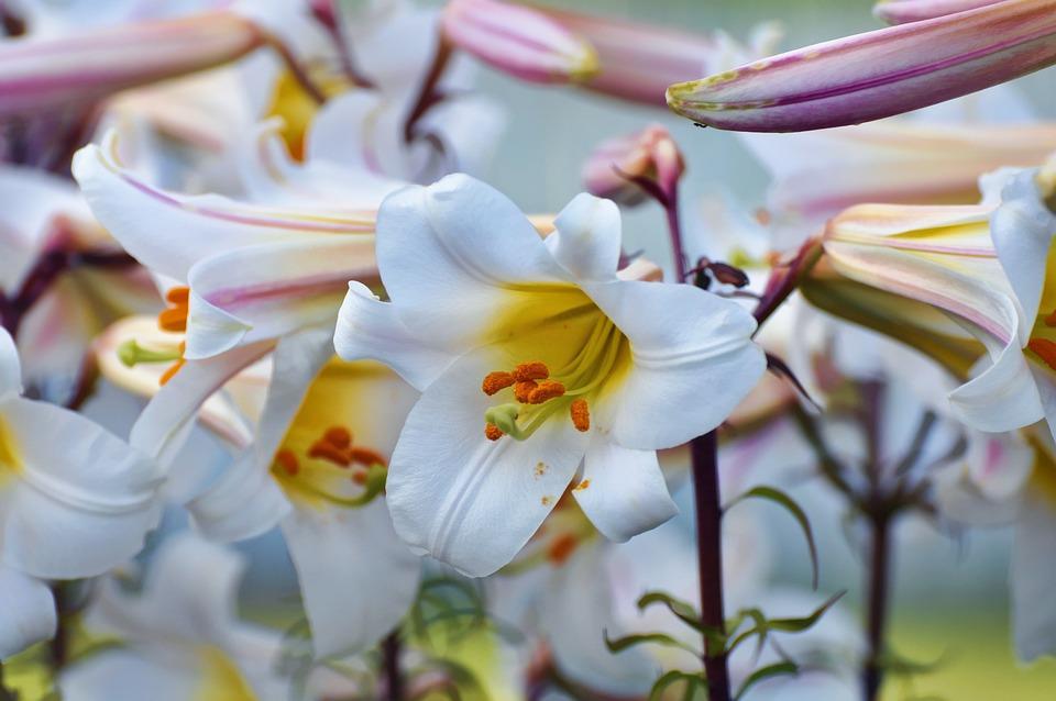 White, Pollen, Stamen, Flower
