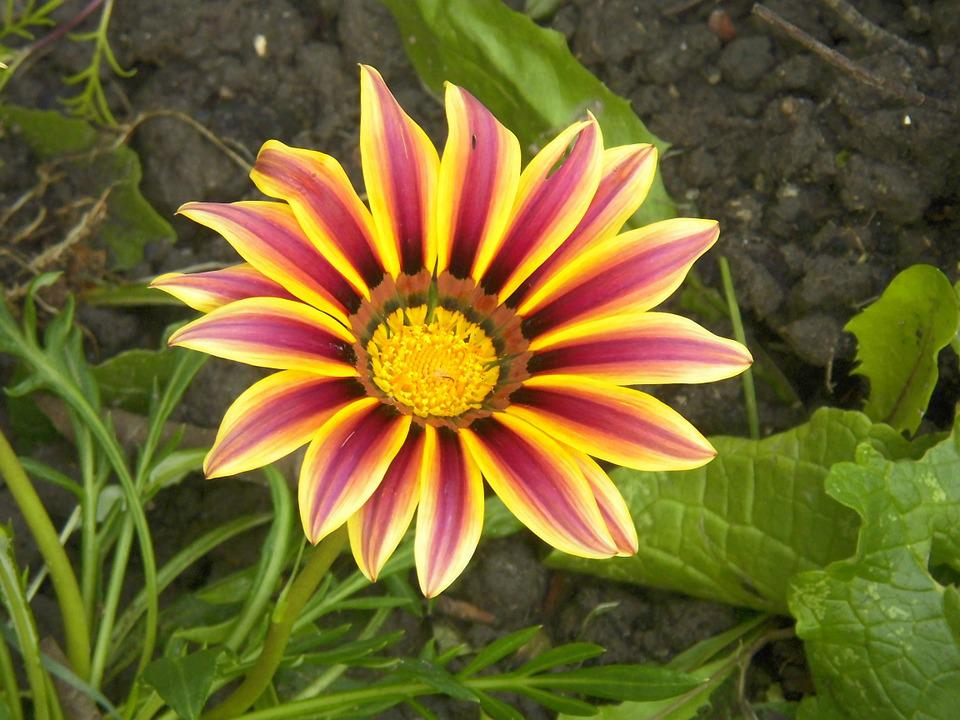 Gazania, Flower, Blossom, Petal, Bloom, Floral, Stamen