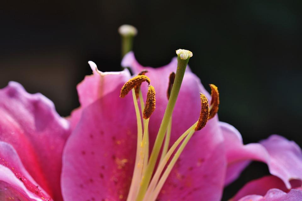 Lily, Flower, Stamen, Lilium, Pink Lily, Pink Flower