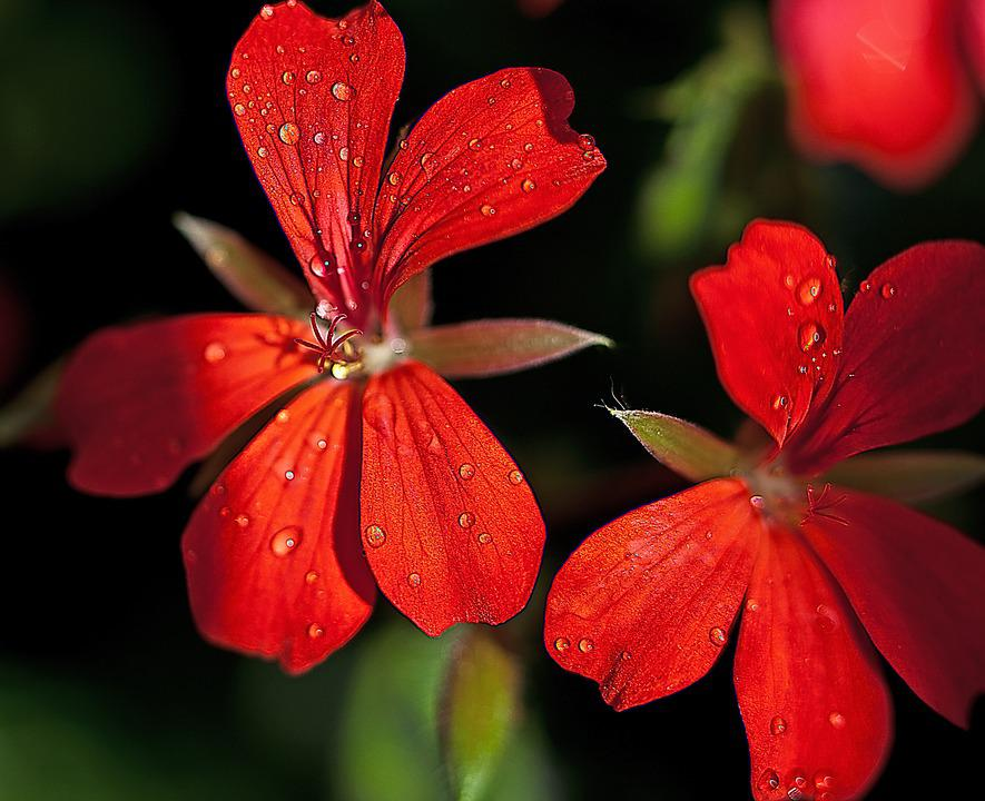 Flower, Geranium, Stamens, The Delicacy, Flora, Summer