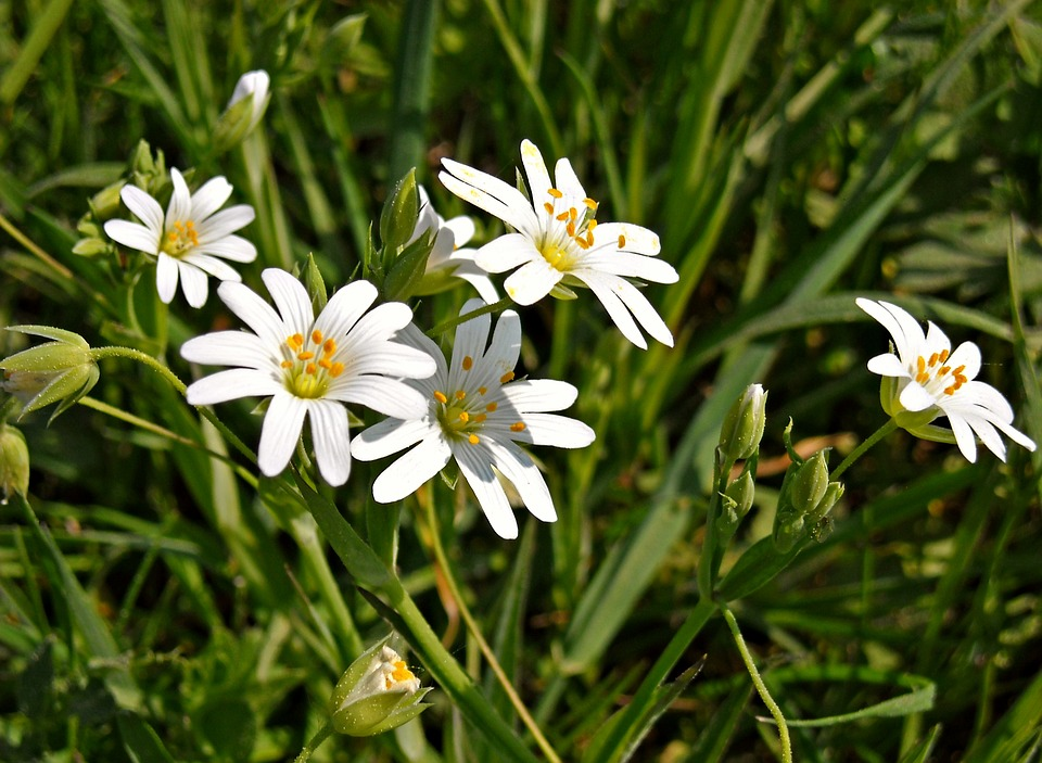 Nature, Green, Grass, Flowers, White Flowers, Stamens
