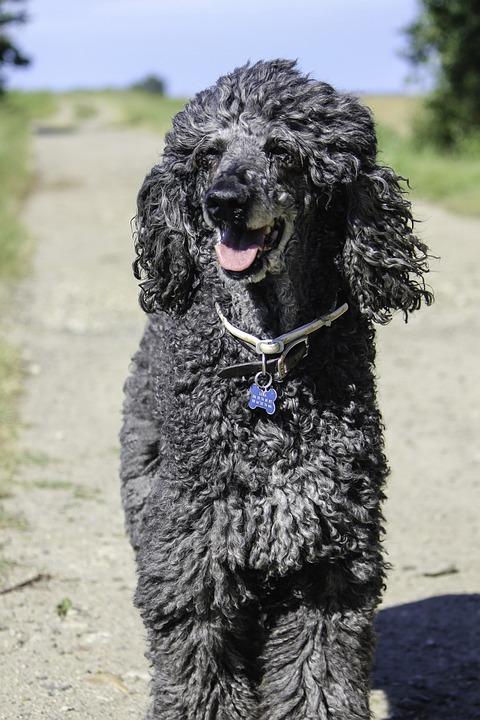 Standard Poodle, Older Standard Poodle
