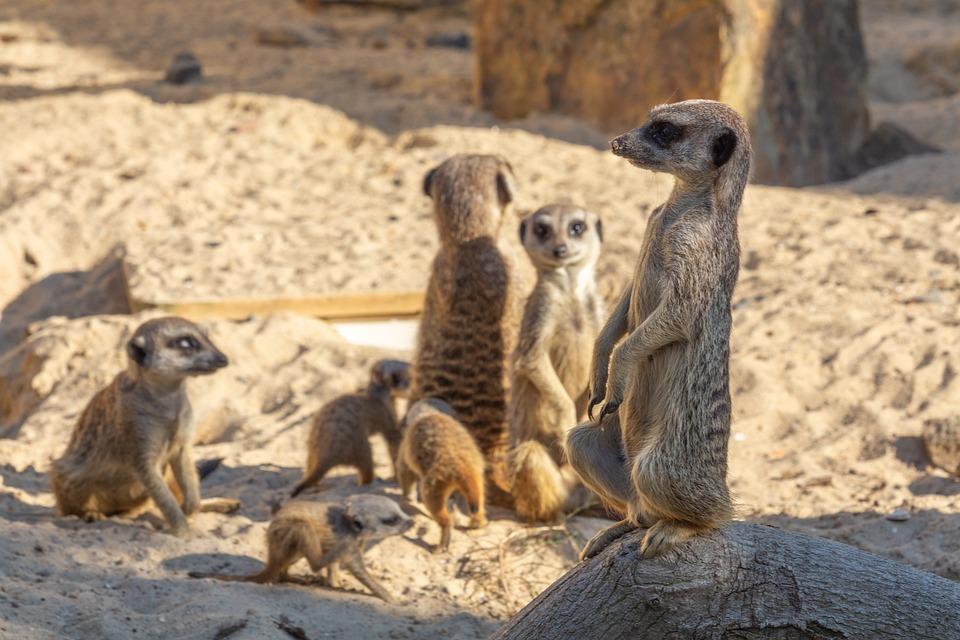Suricate, Cute, Mammals, Small, Africa, Zoo, Standing
