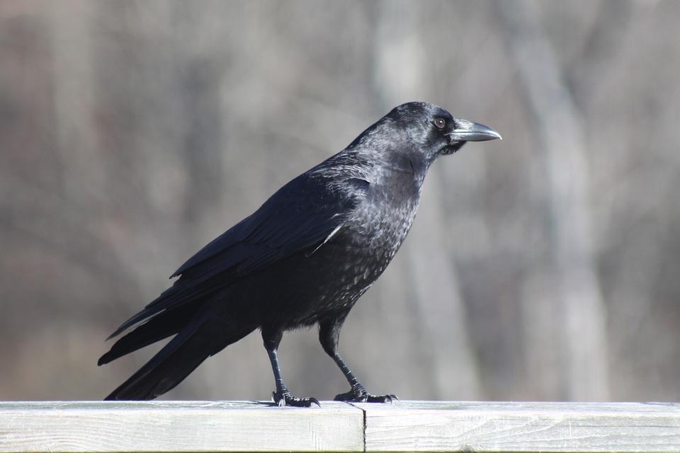 Crow, Railing, Standing, Bird