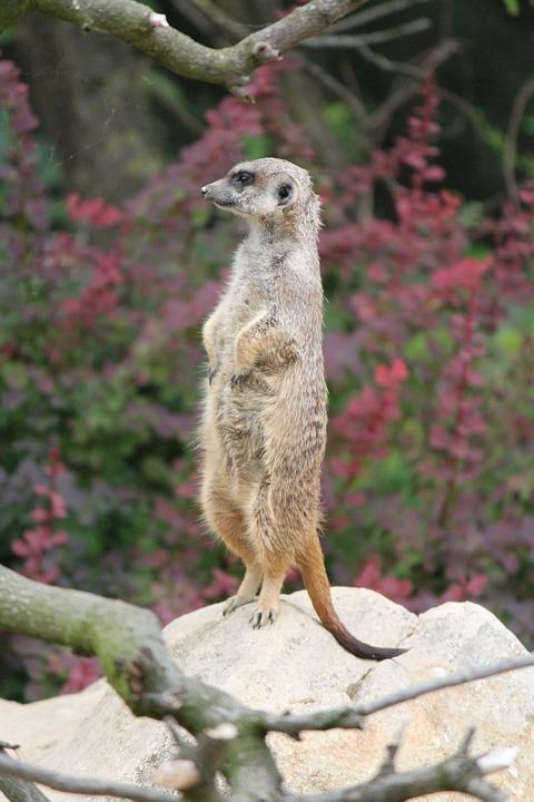 Meerkat, Standing, Zoo, Guard, Attention