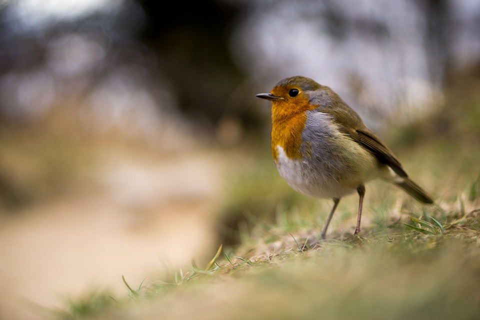 Bird, Robin, Standing, Stood, Still, Red, Animal