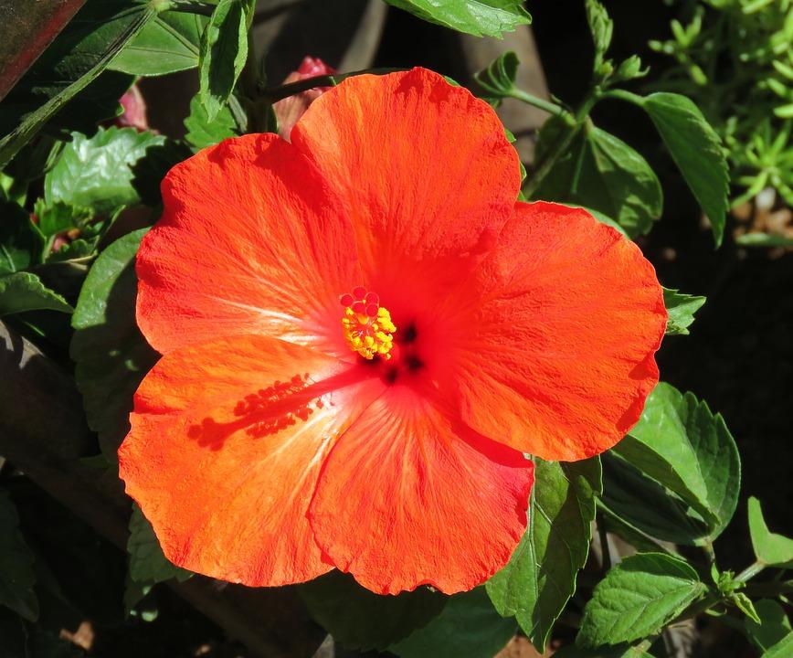 Orange Red, Red, Orange, Flower, Star Flower, Hibiscus