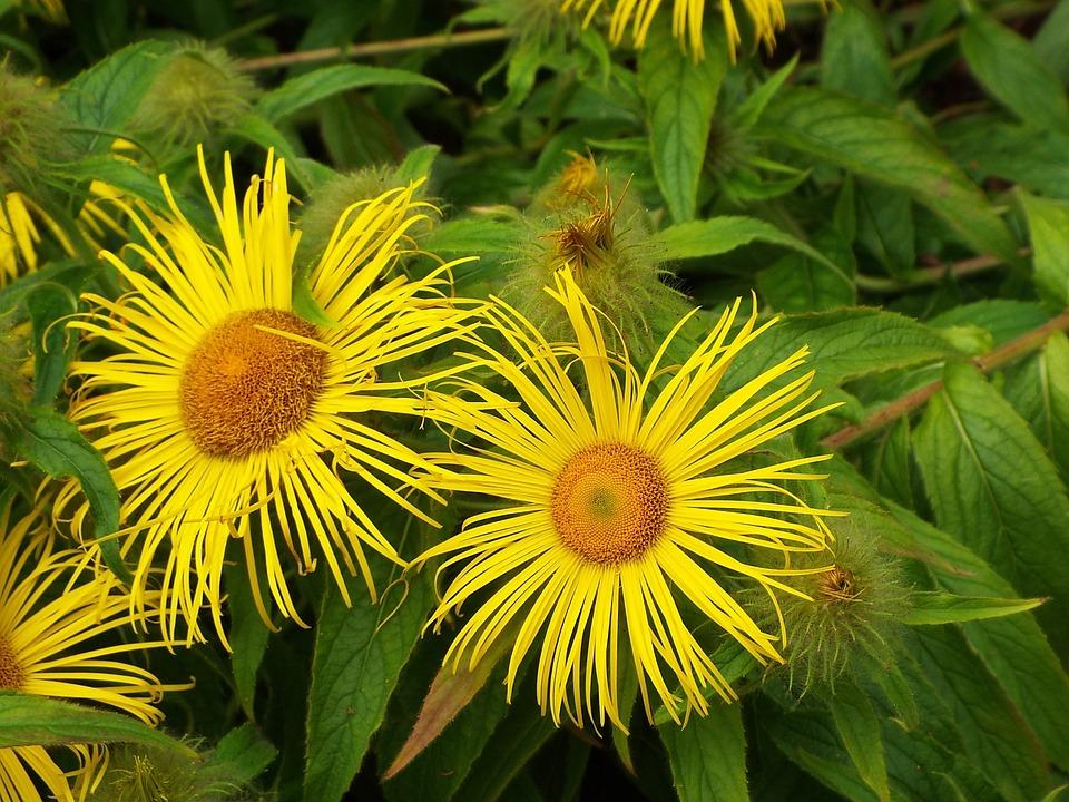 Flower, Yellow, Star, Sunflower Burst