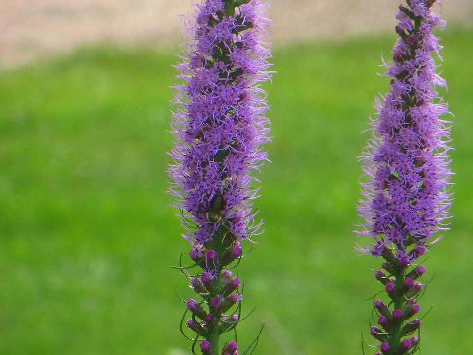 Blazing, Star, Purple, Bloom, Flower, Nature, Blossom