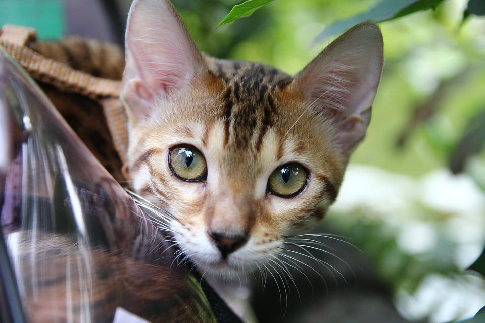 Cat, Stare, Eye