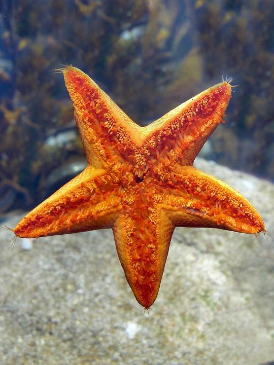 Starfish, Echinoderm, Nature, Sea, Shellfish
