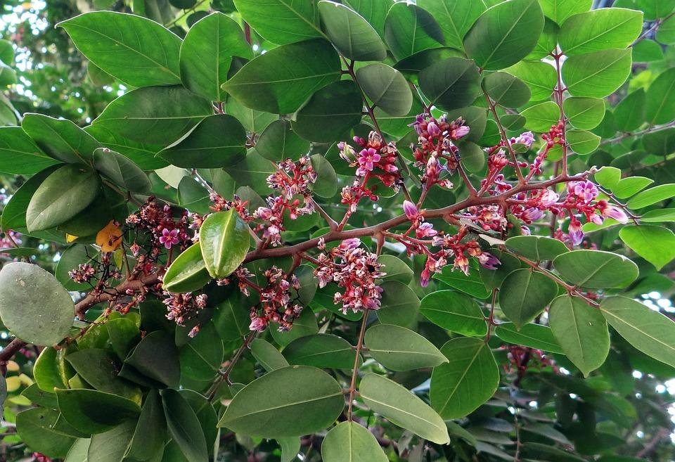 Averrhoa Carambola, Carambola, Starfruit, Exotic, Fruit