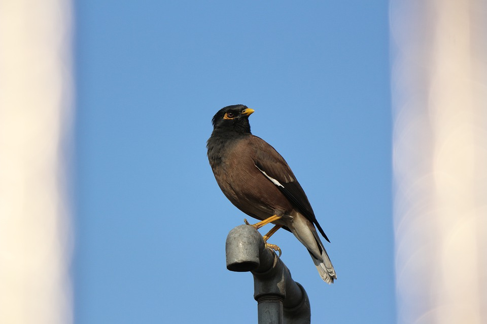 Mynah, Birds, Starling, India, Southern Asia, Dark