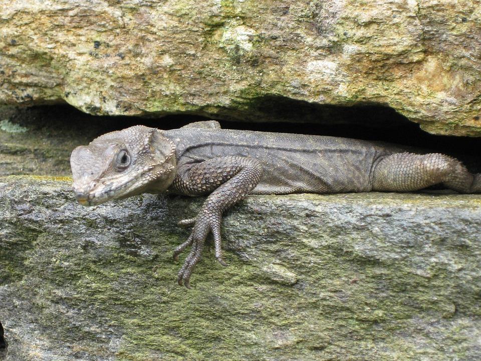 Lizard, Starred Agama Lizard, Agama Stellio