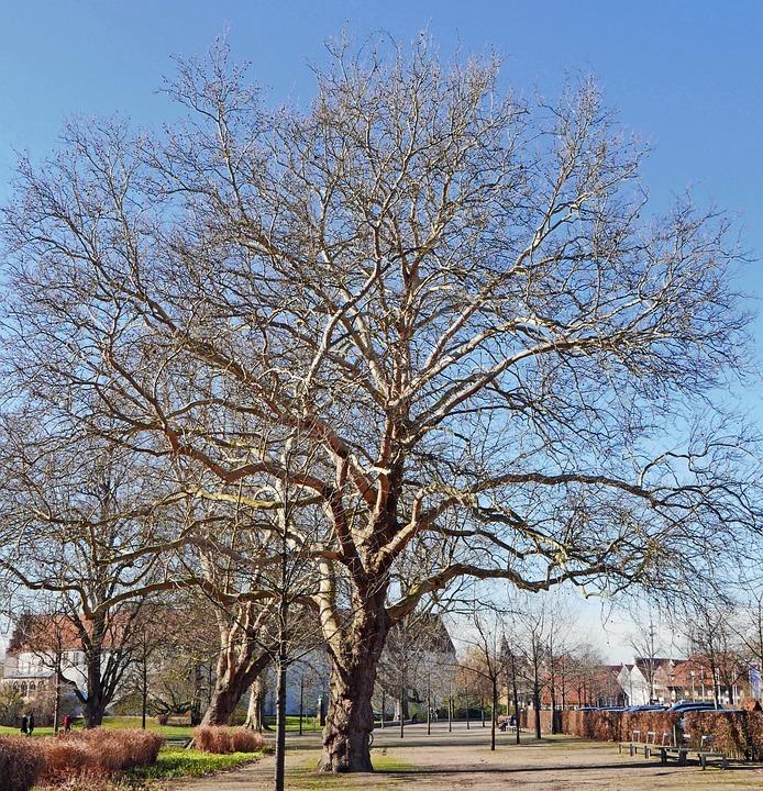 Old Plane Tree, February, Castle Park, Steinfurt