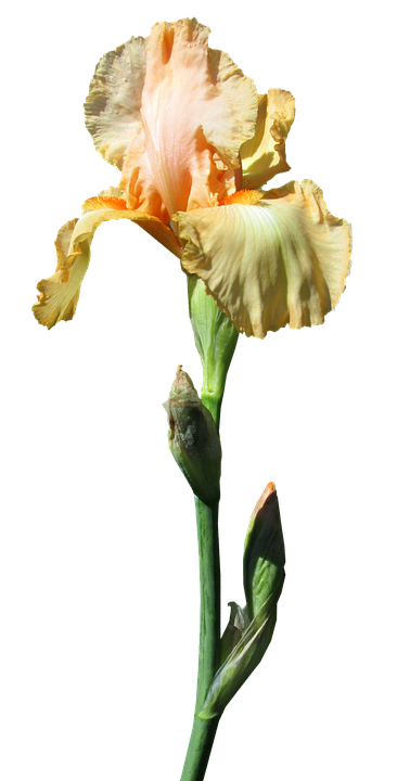 Iris, Yellow, Stem