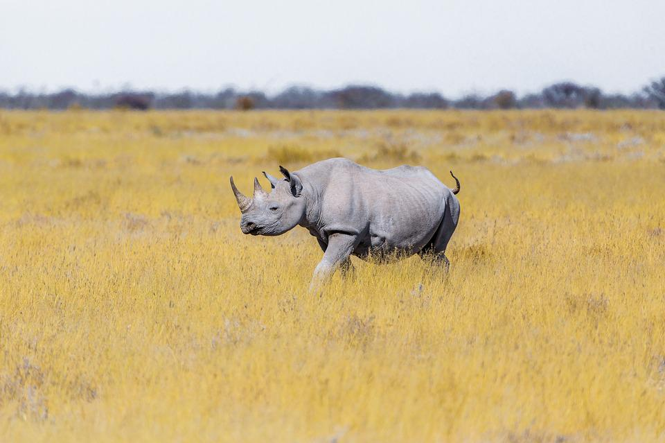 Rhino, Steppe, Grass, Safari, Pachyderm, Rhinoceros