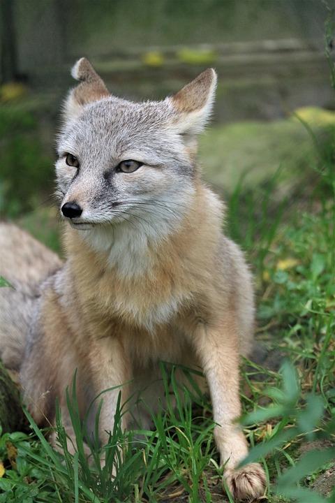 Steppevos, Fox, Faunapark, Nieuwe Tonge, Animal World