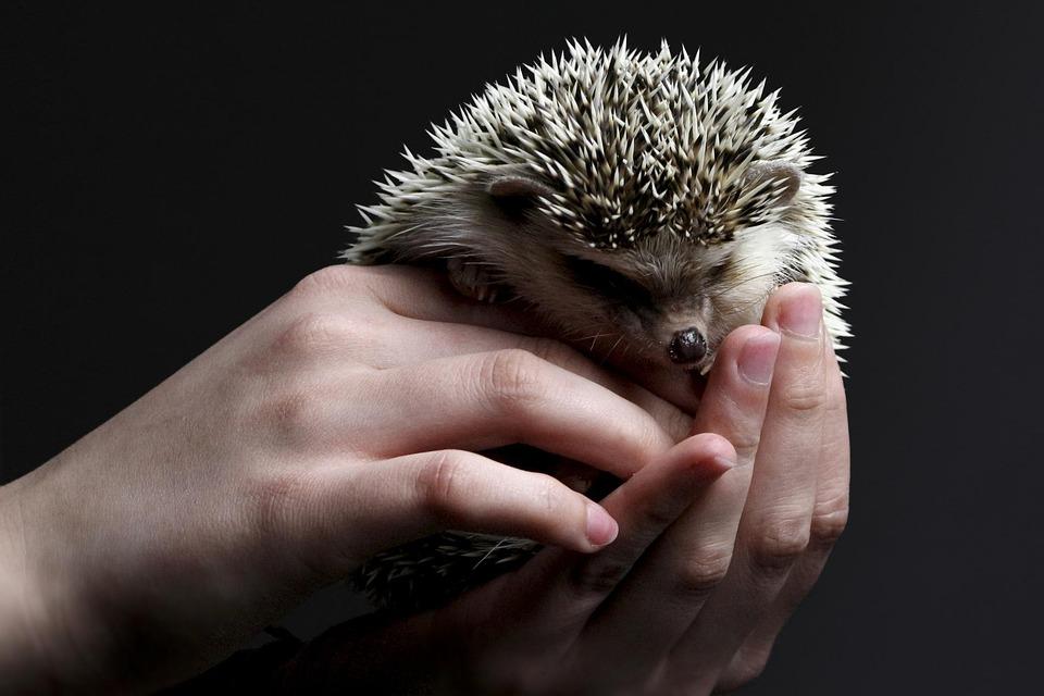 Hedgehog, Animal, Cute, Hands, Prickly, Sting