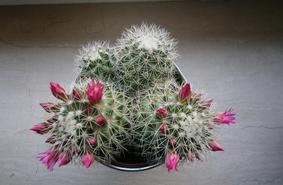 Cactus, Bloom, Sting, Thorns, Blossom, Bloom