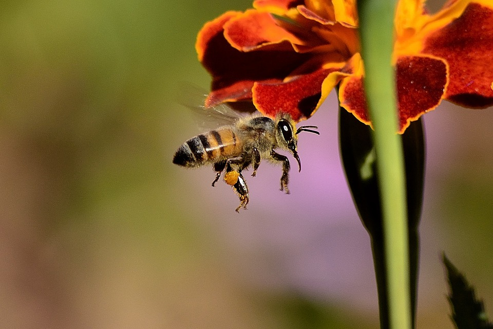Bee, Sting, Honey Bee, Wings, Honey, Bees, Insect