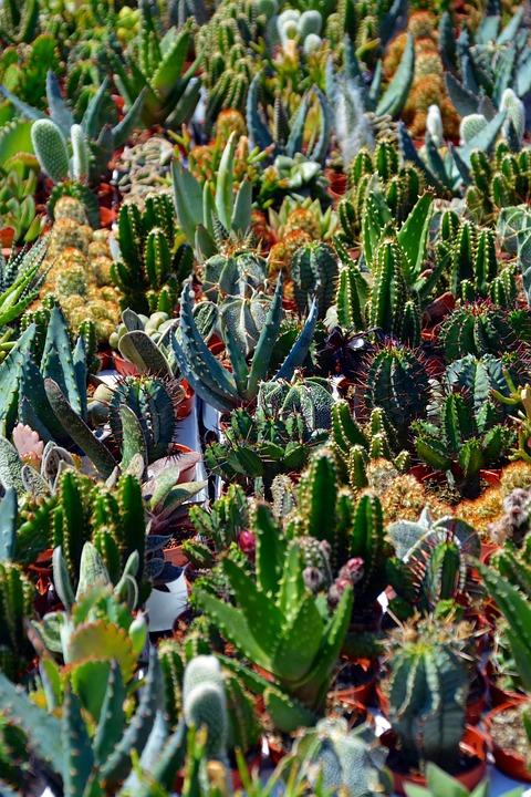 Cactus, Sokkulenten, Plants Green, Thorns, Sting