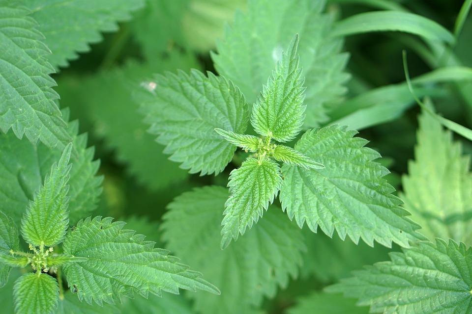 Stinging Nettle, Brennessel, Plant, Pain, Green