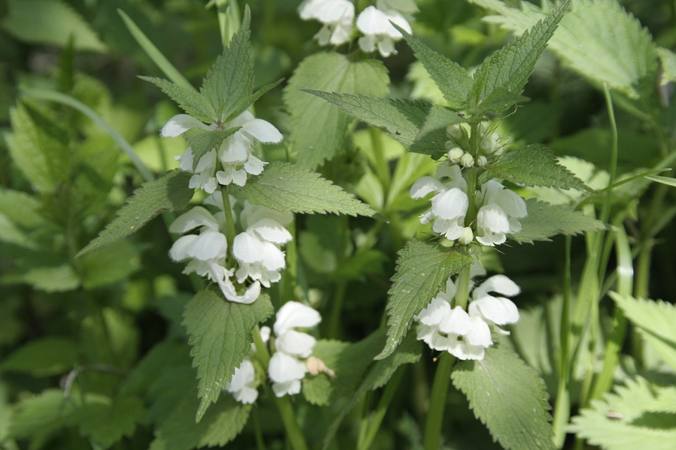Stinging Nettle, Flower, Plant, Nature, Spring