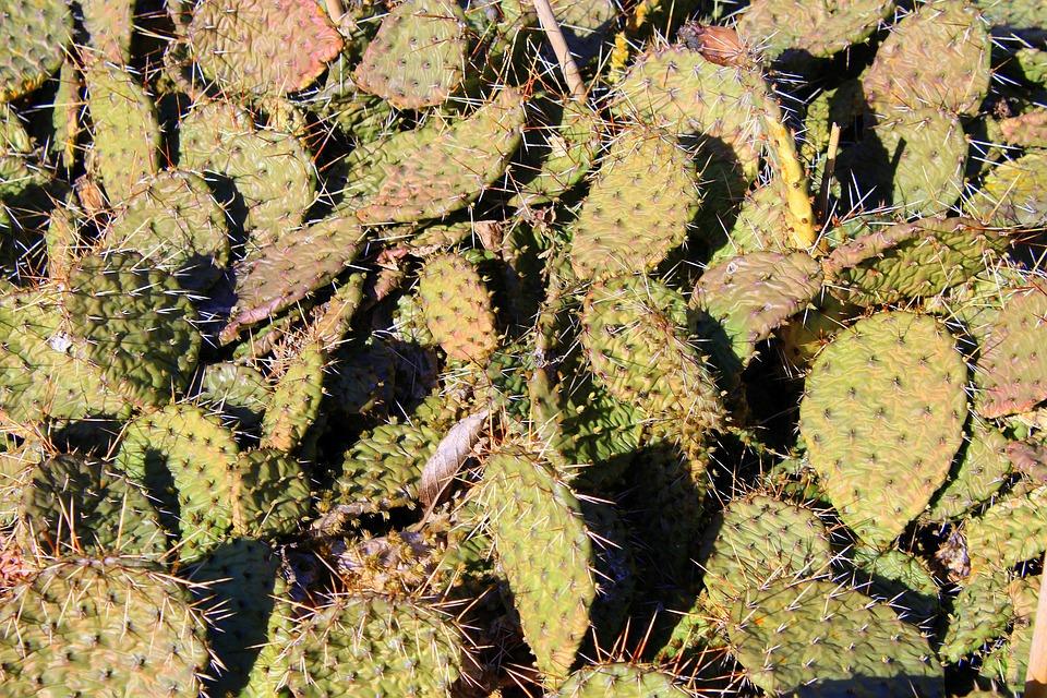 Kaktusowate, Succulents, Stinging, Nature, Plant