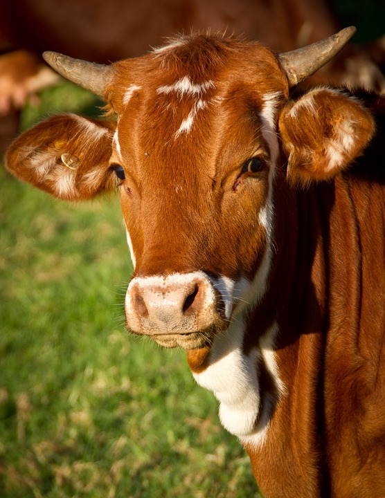 Cow, Calf, Cattle, Stock, Brown, Young, Face, Horns
