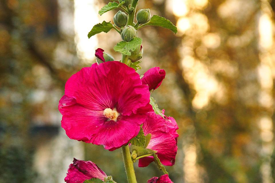Mallow, Hollyhock Flower, Stock Rose, Bud, Red, Garden