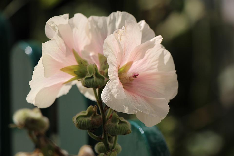 Stock Rose, Flower, Close, Stock Rose Garden, Garden