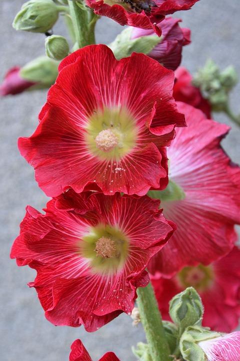 Mallow, Stock Rose, Red, Flower, Garden