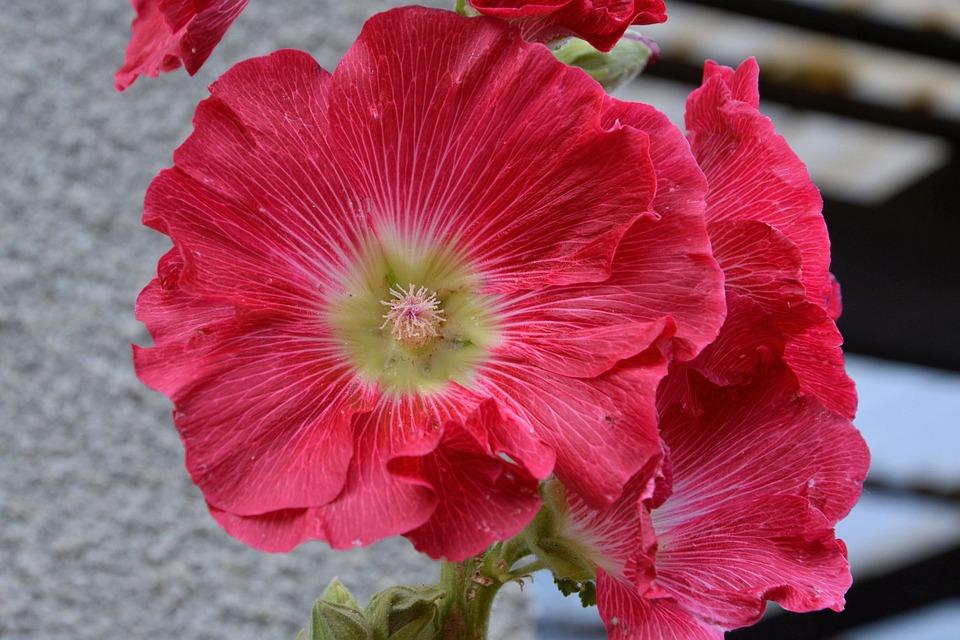 Mallow, Hollyhock Flower, Stock Rose, Red, Flower