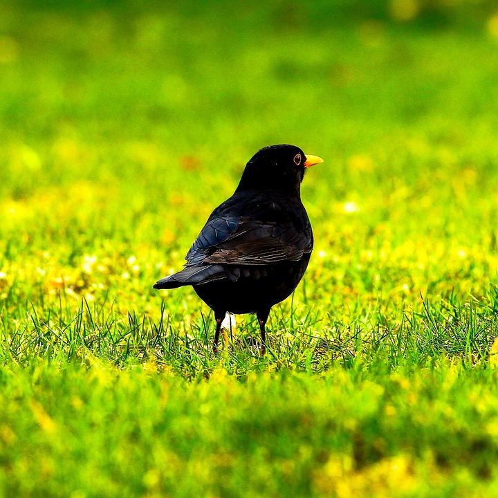Blackbird, Black, Animal, Bird, Feather, Nature, Stone