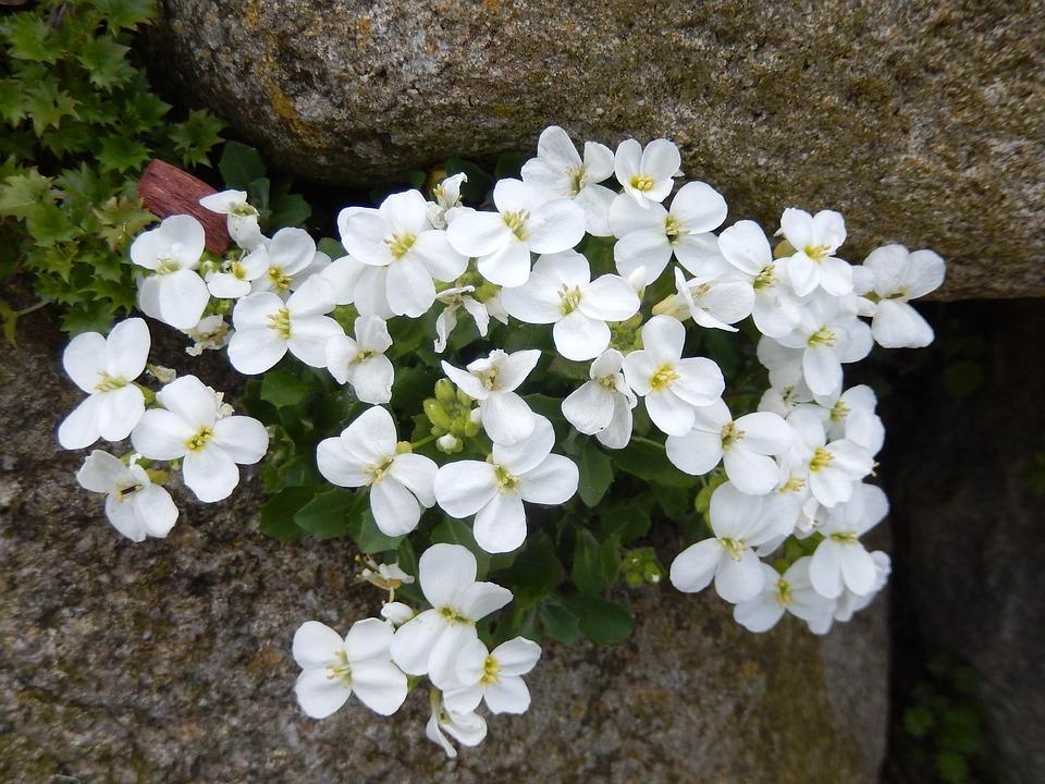 Stone Crop, Stone Garden, Spring, Blossom, Bloom