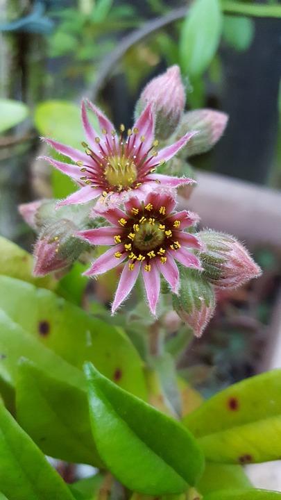 Blossom, Bloom, Pink Flower, Stone Crop, Flower