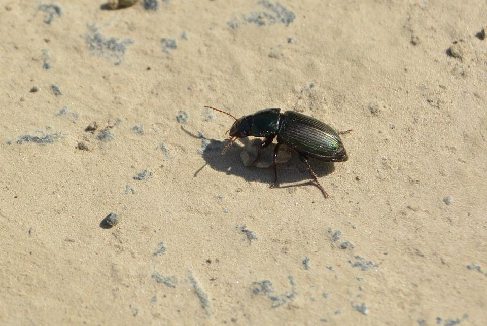 Beetle, Away, Stone, Insect