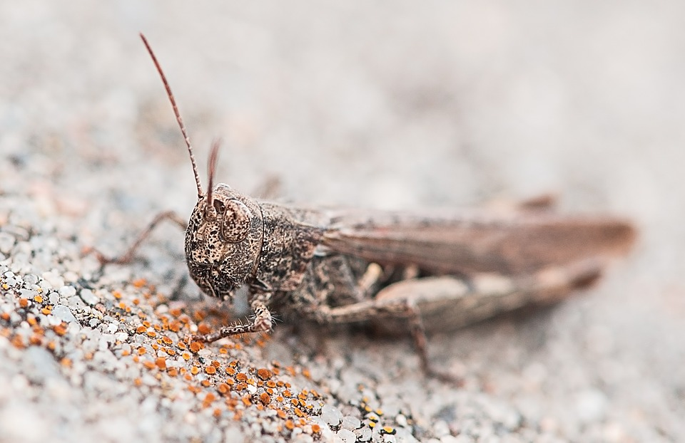 Grasshopper, Animal, Insect, Grey, Stone, Macro, Nature
