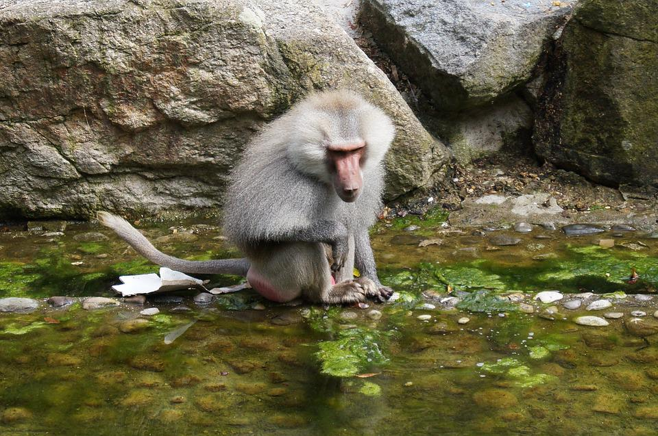 Ape, Monkey, Water, Animal, Zoo, Stone