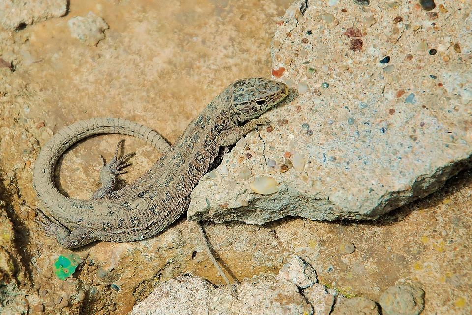 Sand Lizard, Lizard, Female, Stone, Reptile