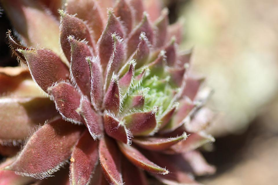 Stone Rose, Houseleek, Sempervivum