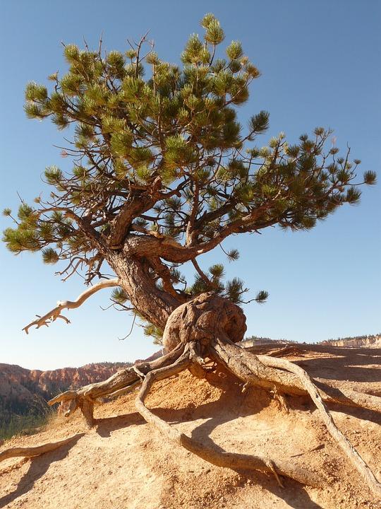 Tree, Root, Tree Root, Pine, Dry, Drought, Arid, Stone