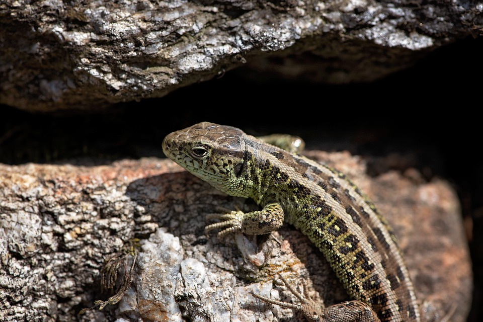 Lizard, Animal, Stones, Stone Wall, Nature